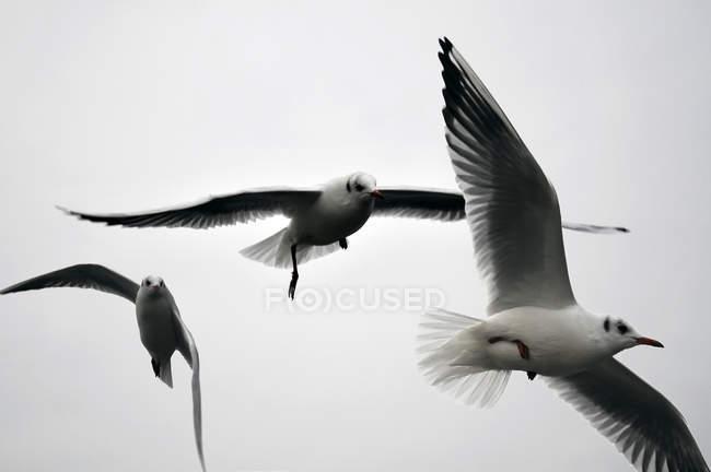 Uccelli di volo gabbiano in cielo grigio — Foto stock