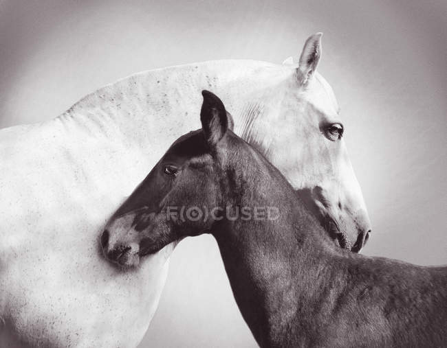 Two horses, white horse and black horse together — Stock Photo