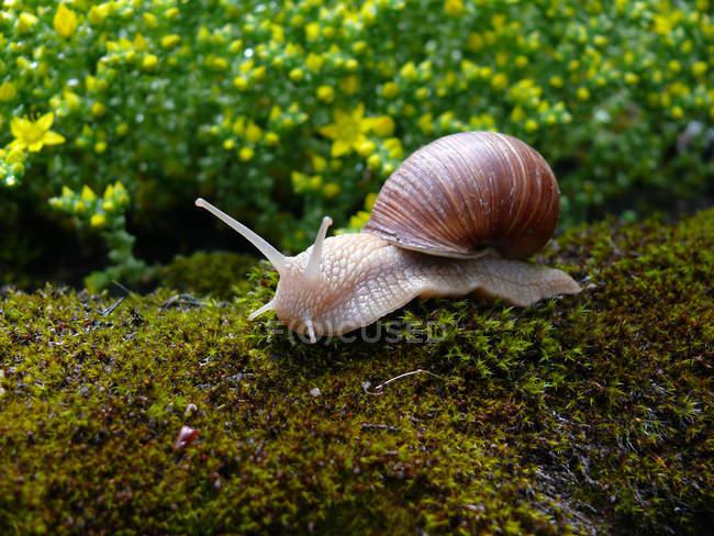 Escargot sur la mousse à l'extérieur, flore et faune — Photo de stock