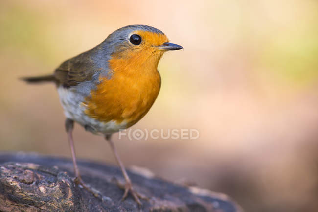 Small robin bird, full length bird photography — Stock Photo
