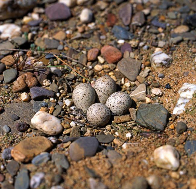 Ovos de animais em pedras de seixos — Fotografia de Stock