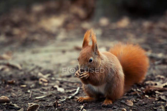 Red squirrel with nut on ground — Stock Photo