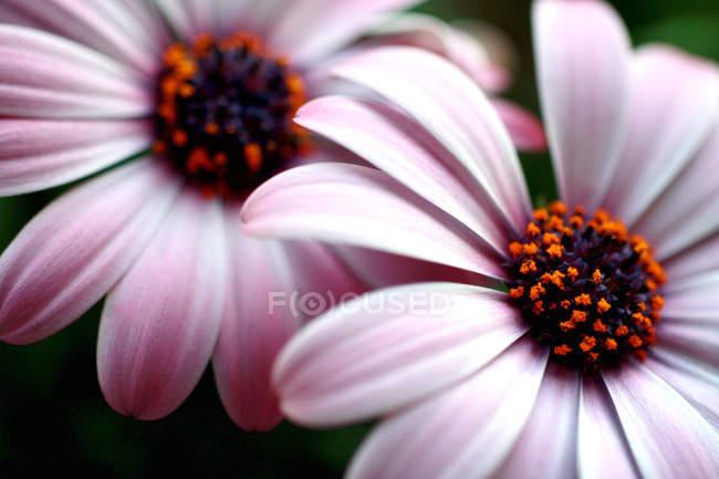 Fleur gerbera fleurs, pétales gros plan — Photo de stock