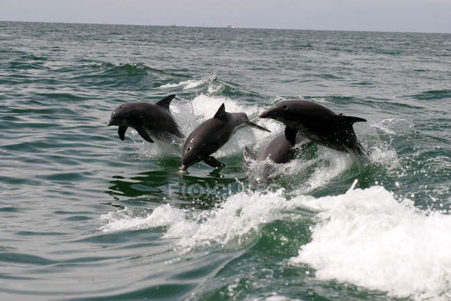 Grey swimming and jumping dolphins in sea water — Stock Photo