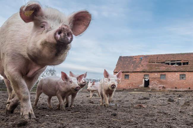 Porcos domésticos na fazenda da aldeia, tijolo velho casa no fundo — Fotografia de Stock
