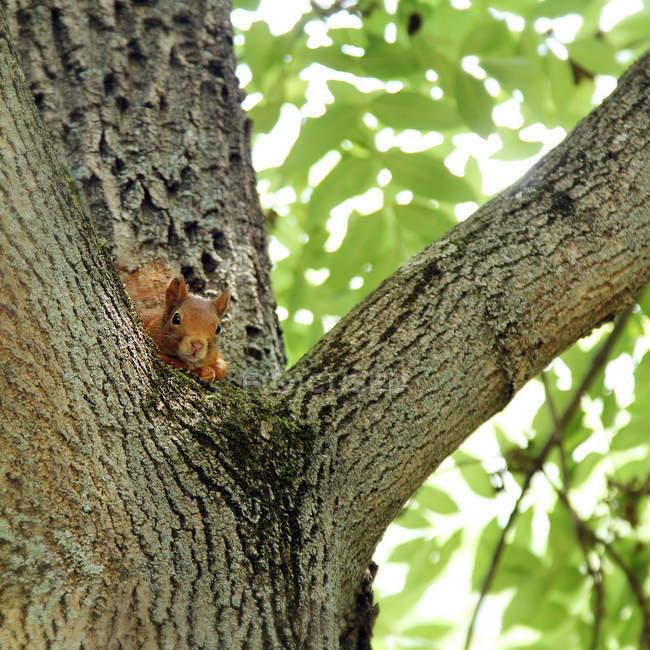 Écureuil roux cachent sur arbre — Photo de stock