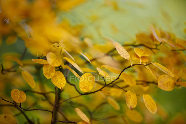 Autumn yellow leaves on tree branches — стоковое фото