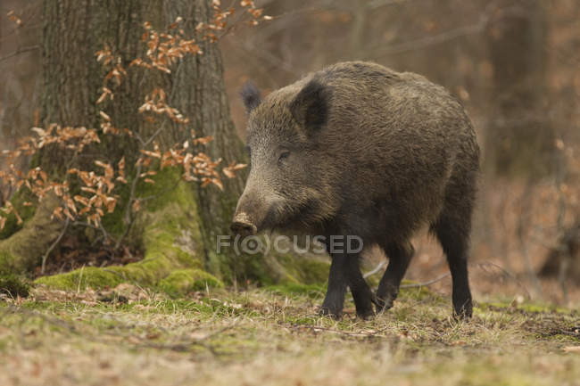 Wild sow, wild boar in forest — Stock Photo