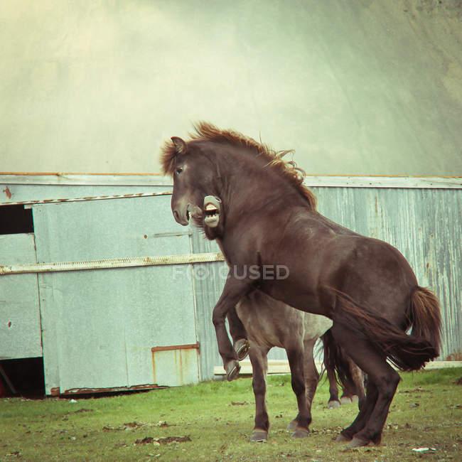 Dois cavalos islandeses a lutar — Fotografia de Stock