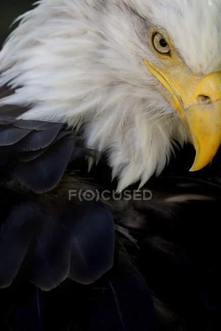 Ritratto dell'uccello dell'Aquila calva — Foto stock