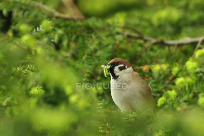 Домовый воробей в зеленой листвы, птица с пищей в клюве — стоковое фото
