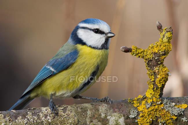 Little blue yellow bird on tree bark, tomtit Petroica macrocephala — Stock Photo