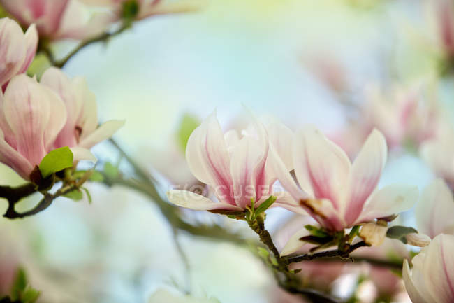 Blooming magnolia flowers on tree branches — Stock Photo