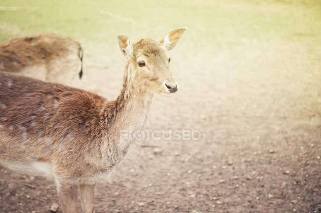 Light toned photo of deer animals — Stock Photo