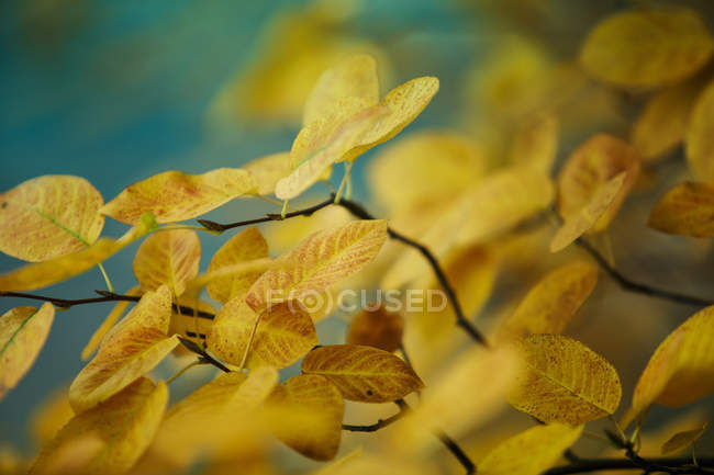 Tree branches with yellow autumnal leaves — стоковое фото