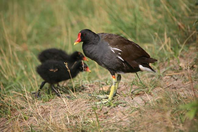 Шотландская куропатка семьи птицы, птица мать с птенцами — стоковое фото