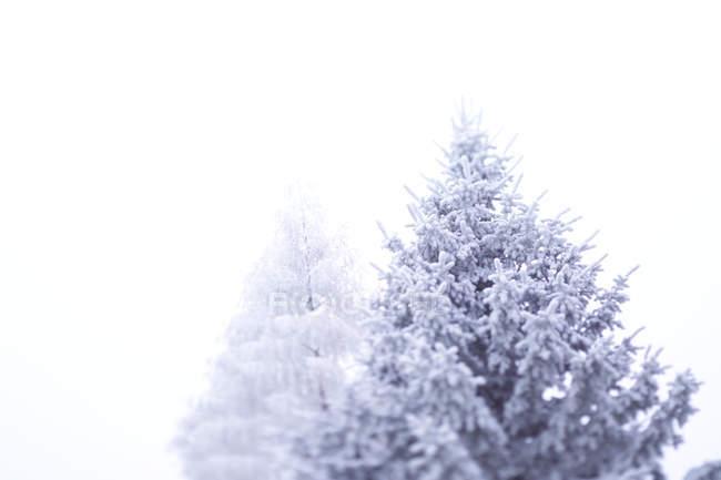 Neve e gelo cobriram de árvores — Fotografia de Stock