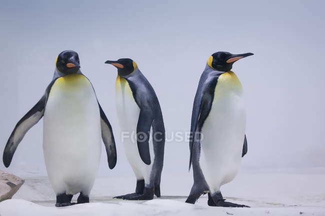 Tre re pinguini in studio — Foto stock