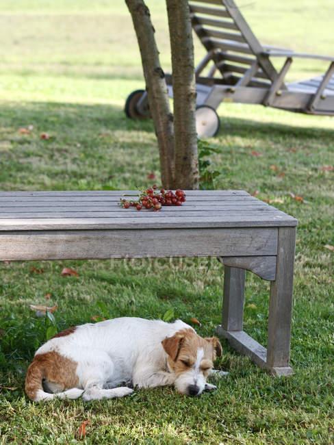 Jack russell terrier cachorro dormindo debaixo de uma mesa de madeira no jardim — Fotografia de Stock