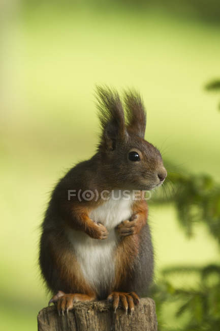 Curious red squirrel on tree stump — Stock Photo