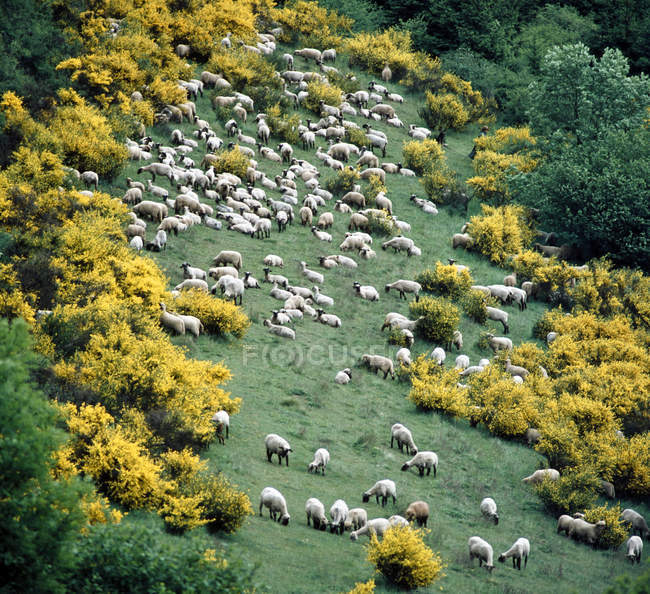 Countryside filed landscape with sheep herd and genista trees — Stock Photo