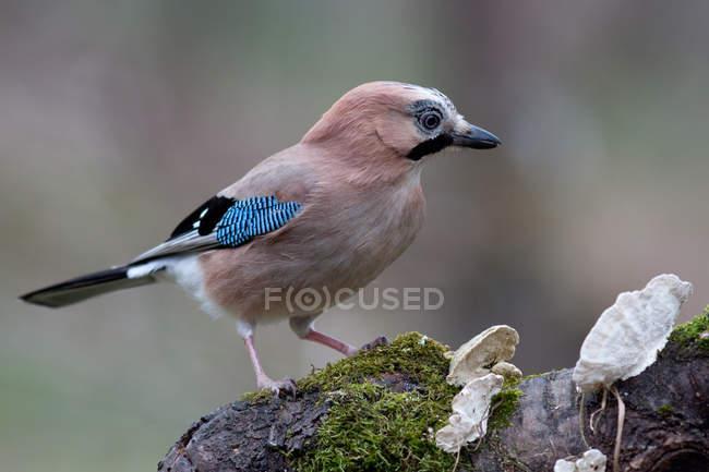 Блакитна Сойка птах на стовбур дерева покривається мохом, птиці фотографії — стокове фото