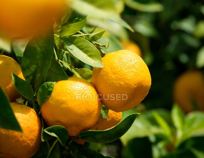 Tropical fruit, tangerines growing on tree with green leaves — Stock Photo