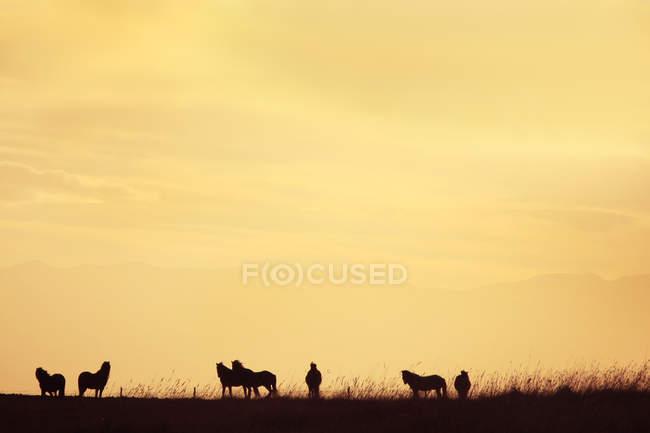 Силуэты лошадей и человека на лугу на оранжевом закате неба — стоковое фото