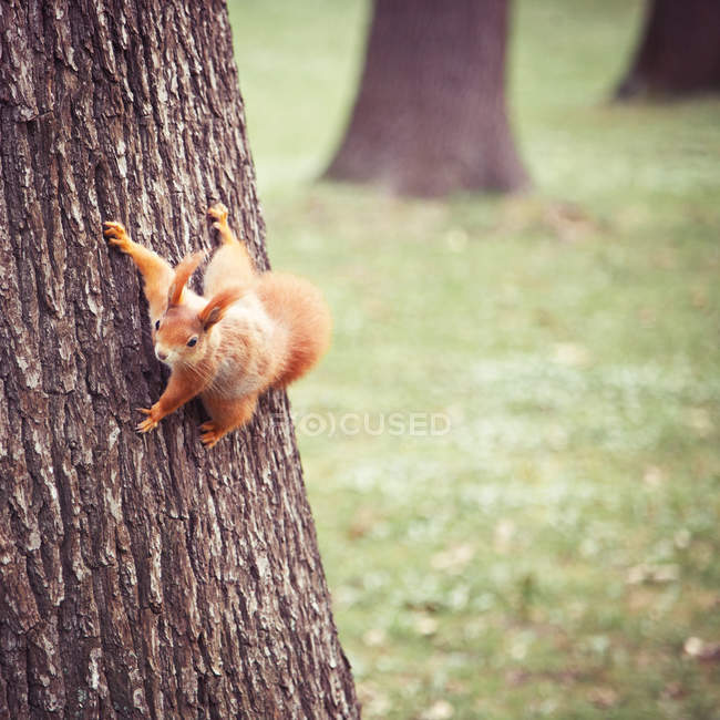 Red squirrel climbing on tree trunk — Stock Photo
