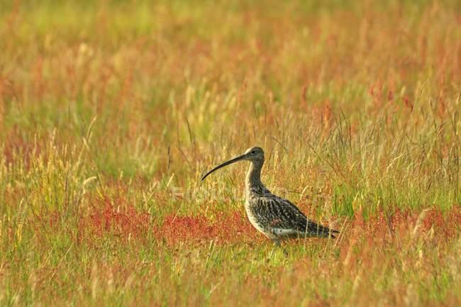Большой кроншнеп птица, ходить в поле, Длинноклювый кроншнеп, Numenius americanus — стоковое фото