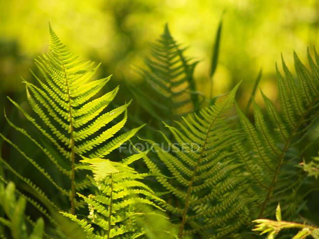 Green fern plant leaves — Stock Photo
