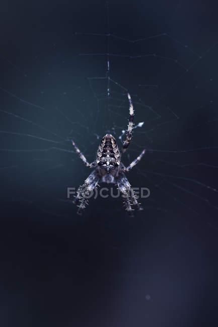 Jardim aranha na teia de aranha isolada em fundo escuro — Fotografia de Stock