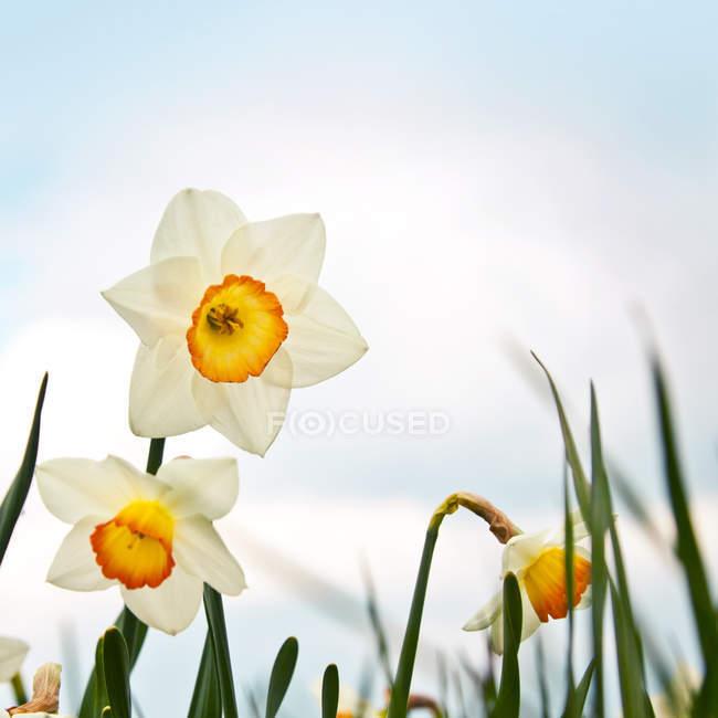 Ростуть квіти Великдень блідо-жовтий колір — стокове фото