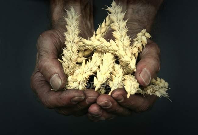 Close-up de mãos envelhecidas pessoa segurando uma colheita de espigas de trigo — Fotografia de Stock