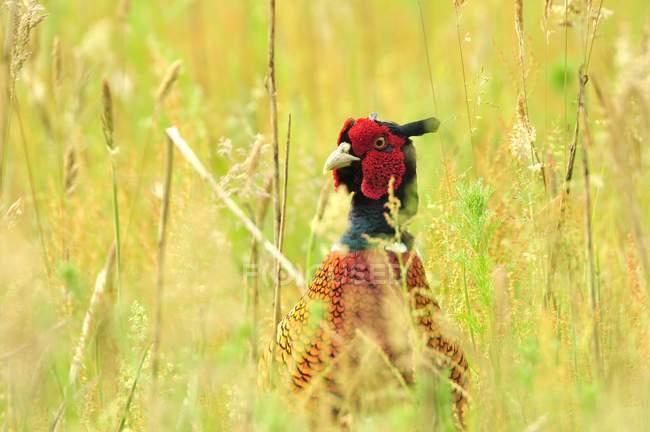 Pheasant bird in grass meadow, galliformes — Stock Photo