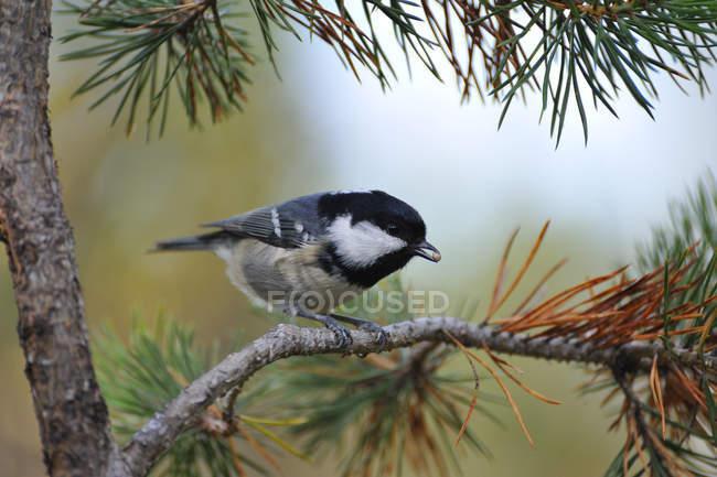 Tomtit, pasture tit bird on tree — Stock Photo