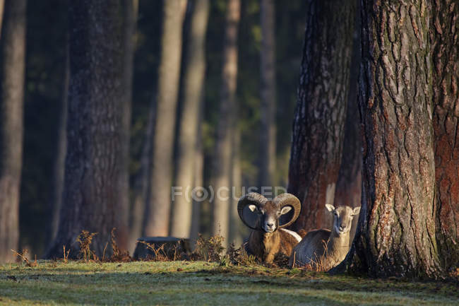 Two animals, sheep and mouflon, wild animals — Stock Photo