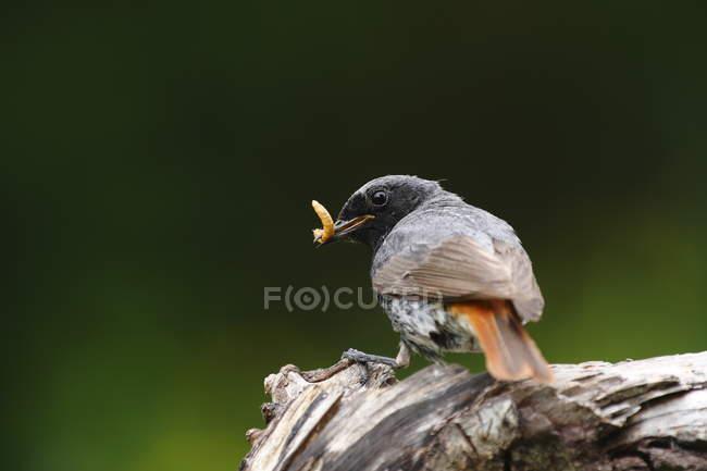 Пересмешник, черный Горихвостка Птица — стоковое фото