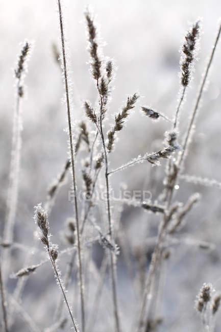 Замороженные трава с ледяными кристаллами — стоковое фото