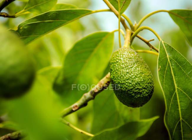 Árbol con fruta de palta y hojas verdes - foto de stock