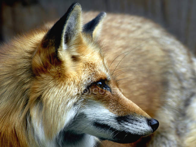 Closeup view of red fox looking away — Stock Photo