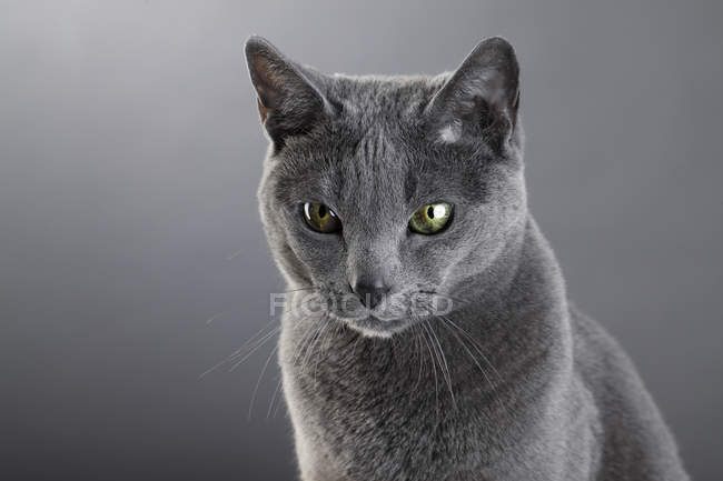 Grey chartreux cat in studio — Stock Photo