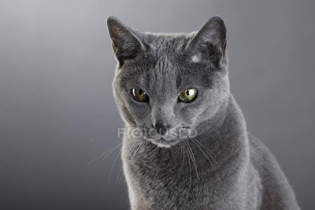 Gato chartreux cinza no studio — Fotografia de Stock