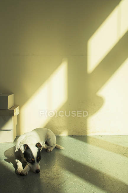 Jack russell terrier dog sleeping on floor in room with sun shadows — Stock Photo