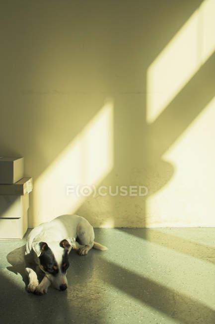 Jack russell terrier cachorro dormindo no chão no quarto com sombras do sol — Fotografia de Stock