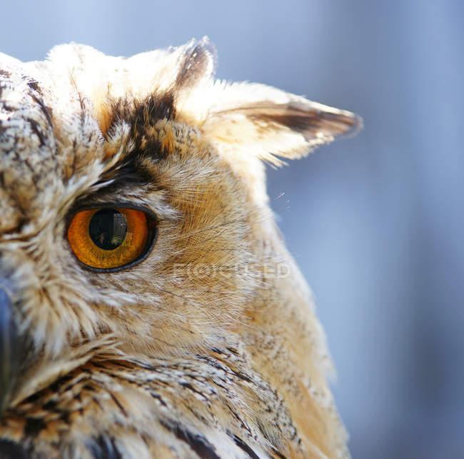 Gufo di Aquila, vista parziale della testa del gufo — Foto stock
