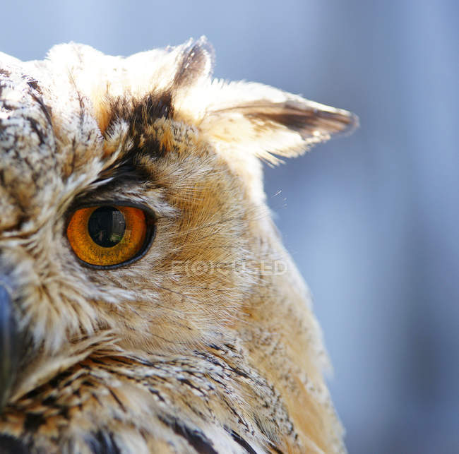 Búho águila, vista parcial de la cabeza de búho - foto de stock
