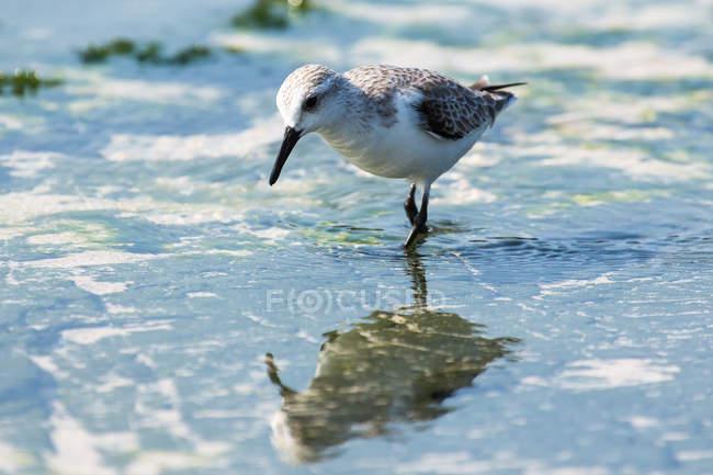 Бар хвостатых веретенник, ходьба в воде пляжный бегун птица — стоковое фото