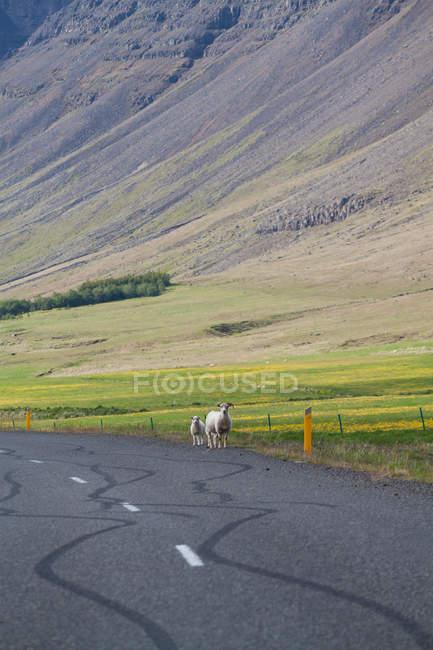 Linhas de marcas de pneu na estrada de asfalto em montanhas, duas ovelhas de pé na estrada — Fotografia de Stock