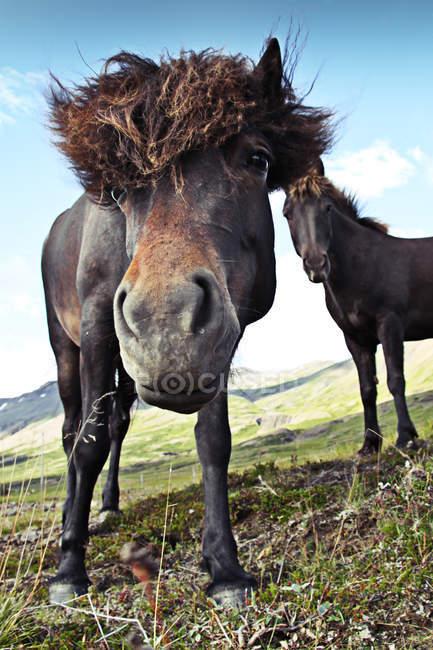 Focinho de cavalo engraçado, Islandês cavalos no Prado nas montanhas — Fotografia de Stock